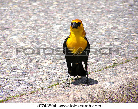 Stock Photo of Yellow Headed Blackbird (Xanthocephalus.