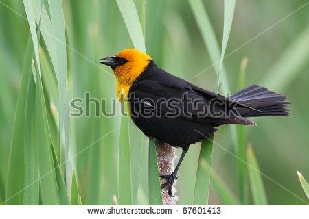 Yellow Headed Blackbird Stock Photos, Royalty.