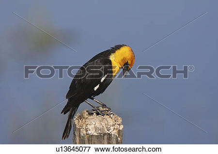 Picture of spring nature male yellow headed blackbird post.