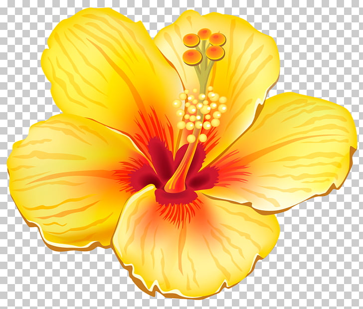 Flower , Yellow Exotic Flower , yellow and red hibiscus.