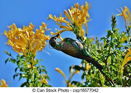 Stock Photo of Sunbird.