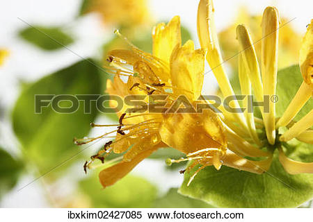 "Stock Image of ""Honeysuckle (Lonicera), flowers"" ibxkim02427085."