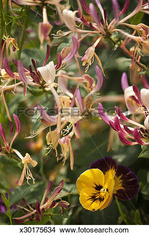 Stock Photo of Honeysuckle blossom and yellow pansy x30175634.