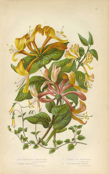 Honeysuckle Images Pictures Clip Art, Vector Images.