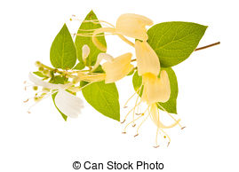 Honeysuckle Images and Stock Photos. 1,146 Honeysuckle photography.