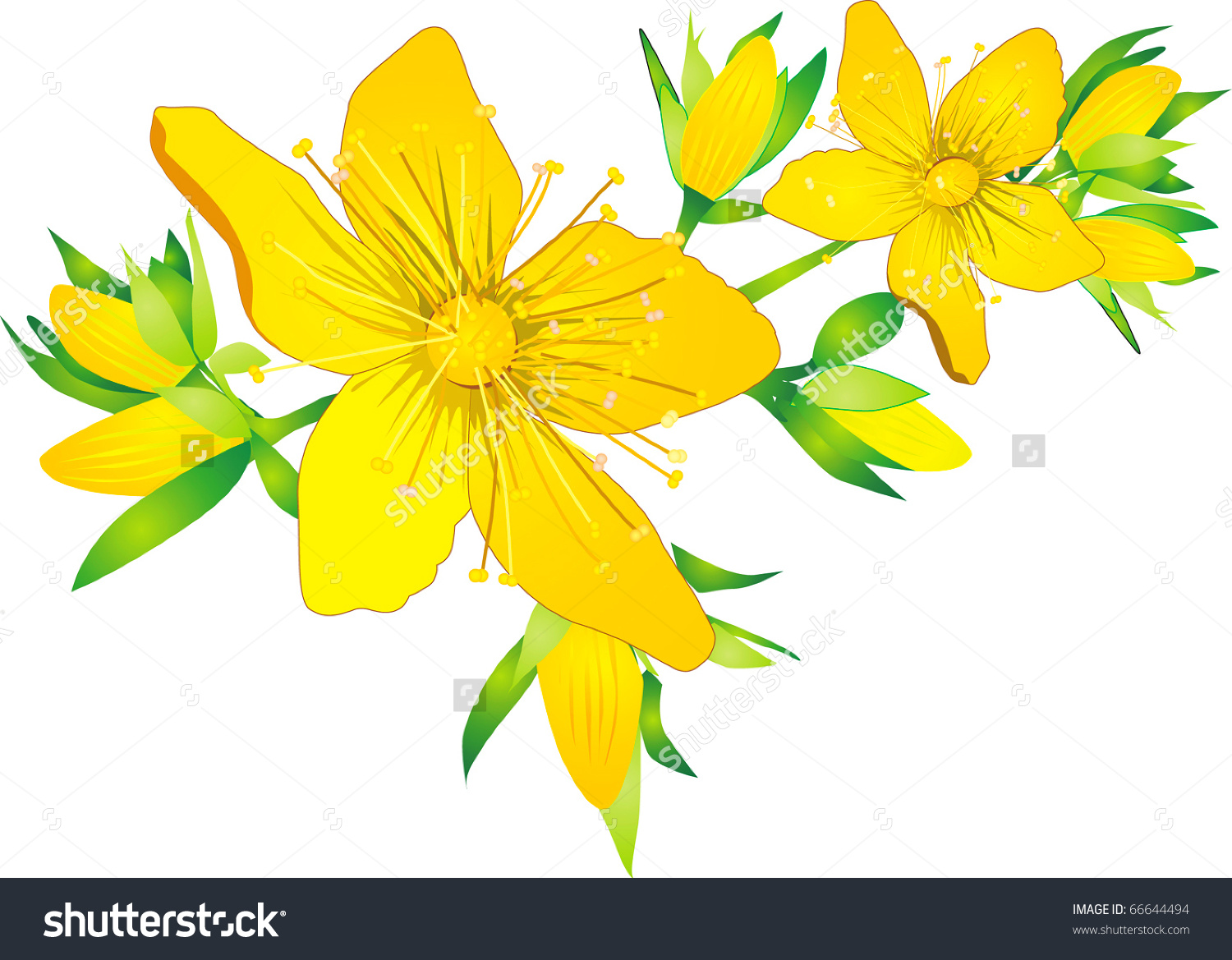 Hypericum, Hidcote, Flowers And Buds Isolated On White Stock.