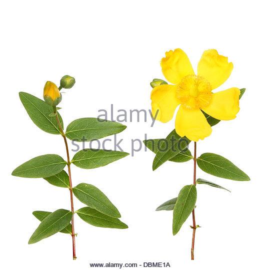 Hypericum Calycinum Yellow Flower Stock Photos & Hypericum.