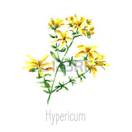 Hypericum Stock Photos Images. Royalty Free Hypericum Images And.