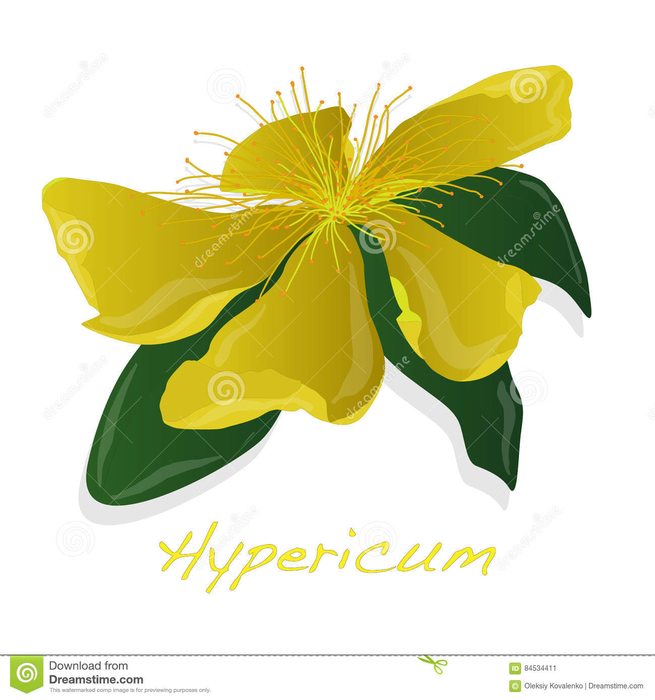 Hypericum Flower Stock Vector.