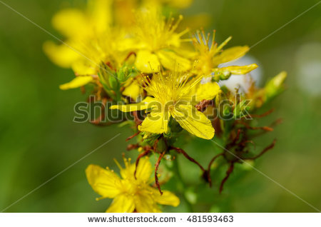 Hypericum Perforatum Stock Photos, Royalty.