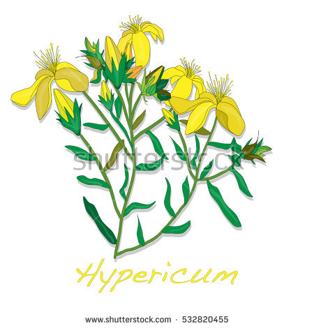 Hypericum Stock Photos, Royalty.