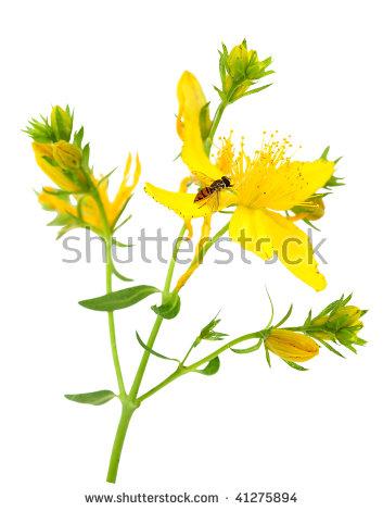 Yellow hypericum flower clipart #20