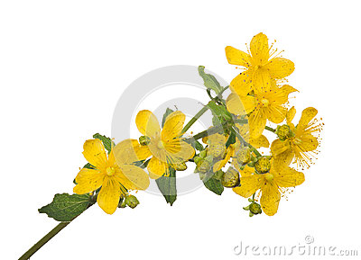 Hypericum Bright Yellow Flower Isolated On White Stock Photo.