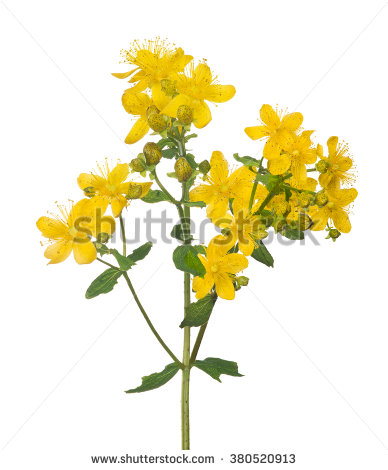 Hypericum Flower Isolated Leaves Stock Photos, Royalty.