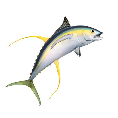 The Yellow Fin Tuna. Clipart Image.