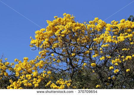 Yellow ipê clipart #20