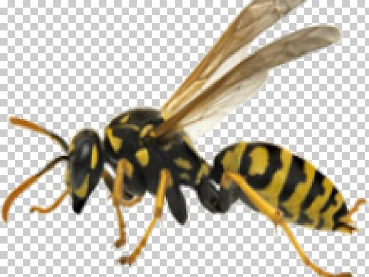 Bee Hornet Wasp Yellowjacket, wasp PNG clipart.