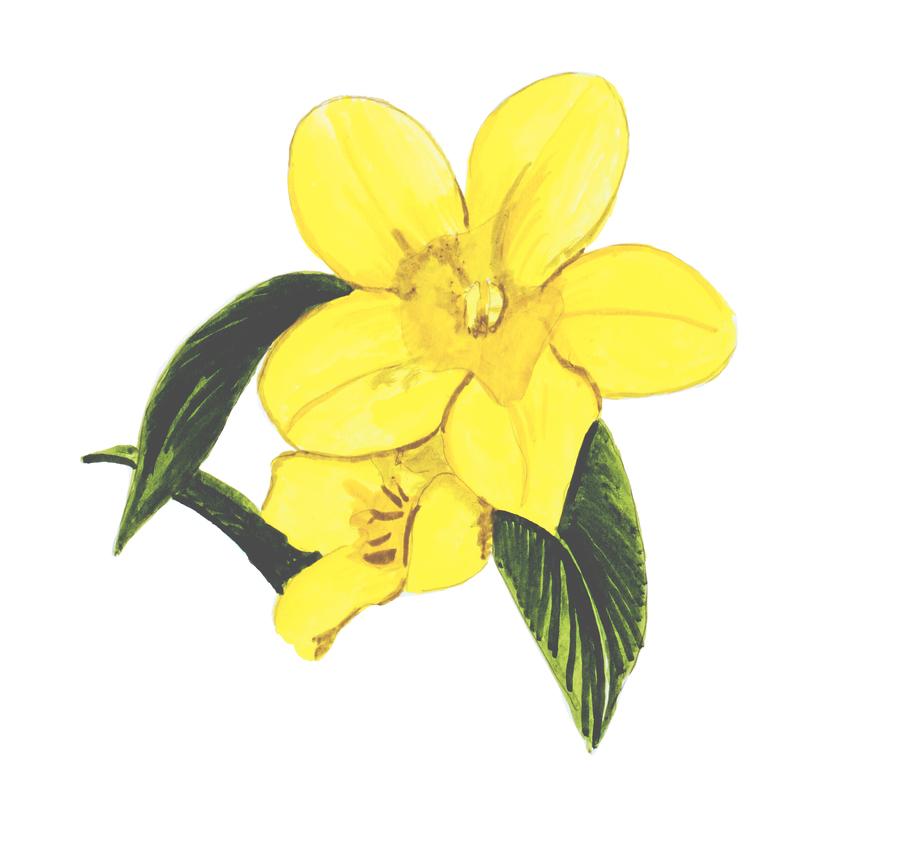 Lily clipart yellow jessamine, Lily yellow jessamine.