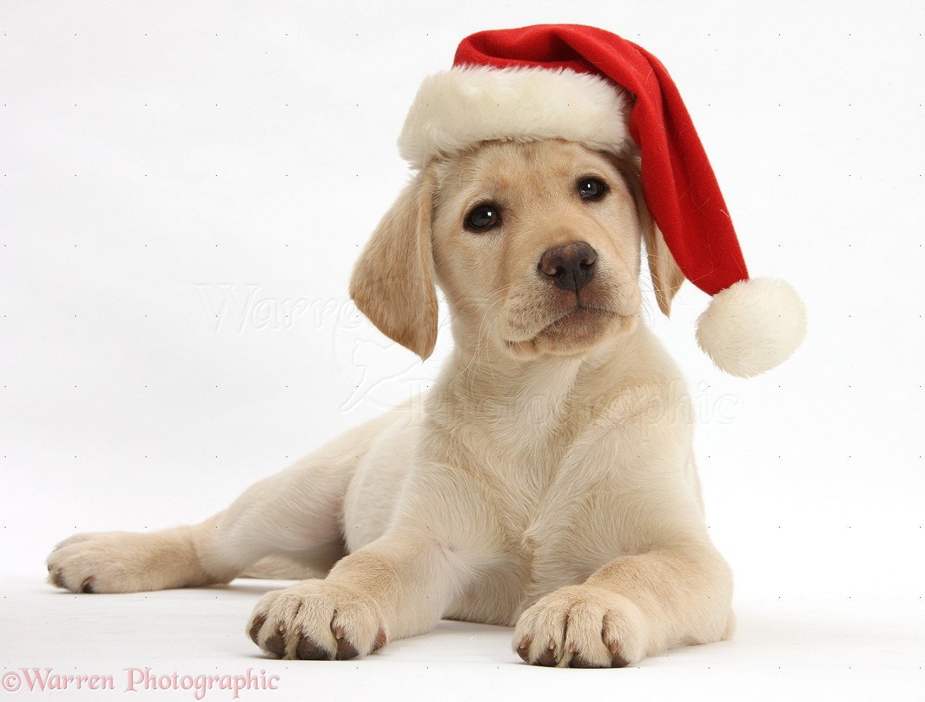 Best 34+ Golden Retriever Christmas Backgrounds on.