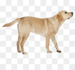 Yellow Lab PNG and Yellow Lab Transparent Clipart Free Download..