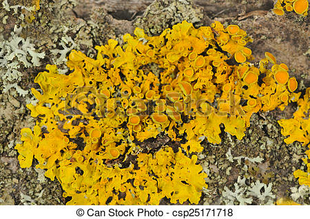 Stock Photography of Golden Shield Lichen Close.