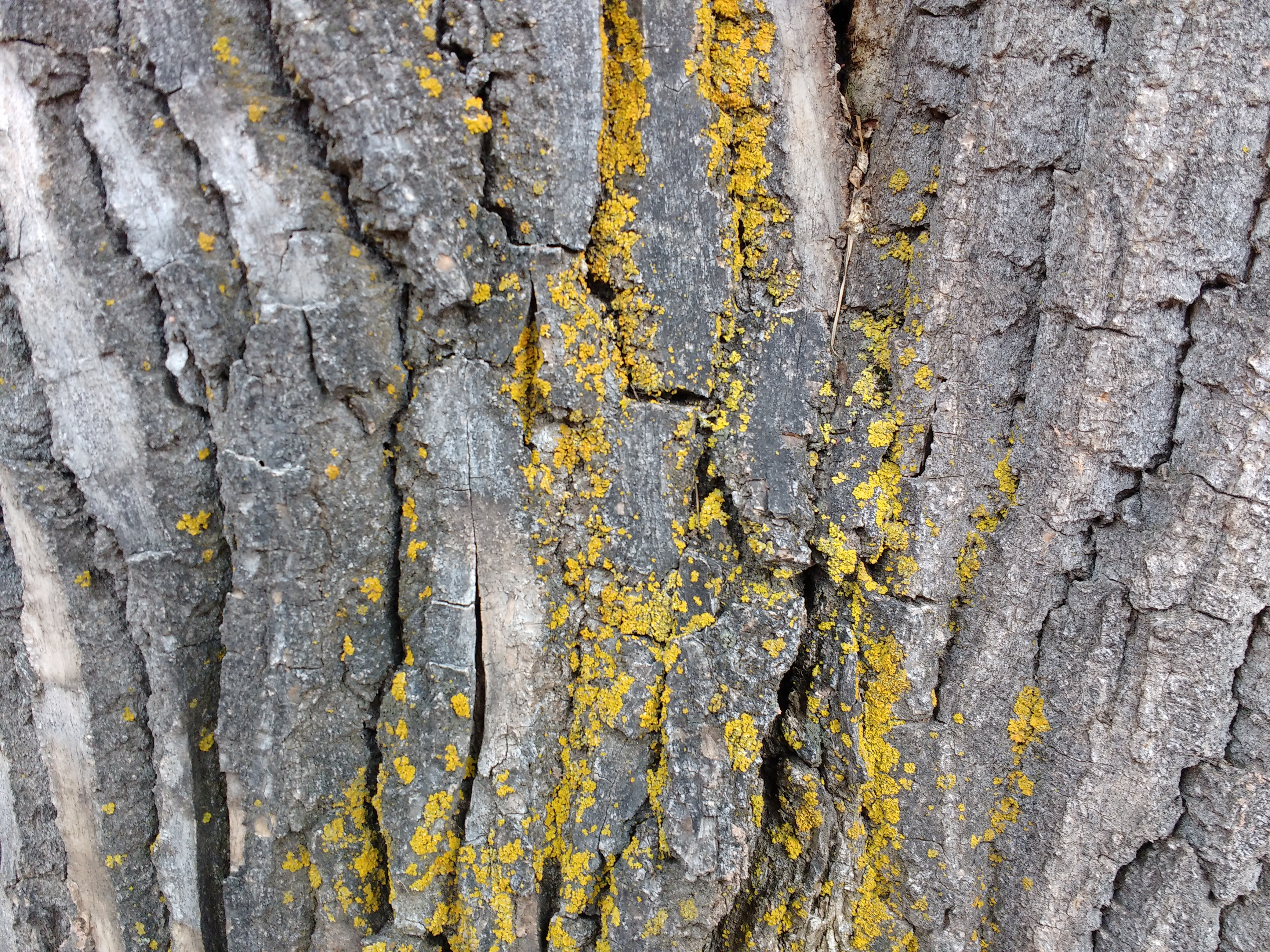 Yellow Lichen on Bark of Tree Trunk Picture.