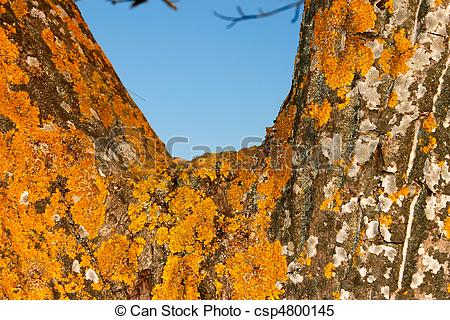 Stock Images of Yellow lichen on the bark of tree.