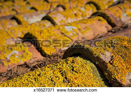 Stock Photography of yellow lichen on roof tiles x16527371.