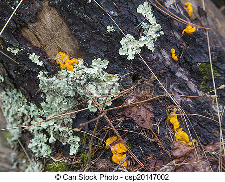 Stock Photography of lichen and yellow fungi on rotting log.