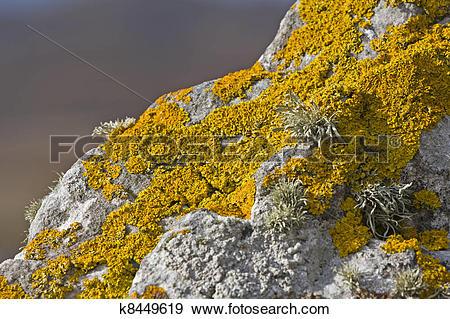 Stock Photograph of yellow lichen on stone k8449619.