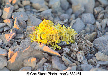 Picture of bright poisonous lichen in polar desert. Novaya Zemlya.