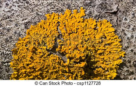 Pictures of yellow lichen.