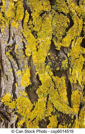 Stock Photographs of yellow lichen.