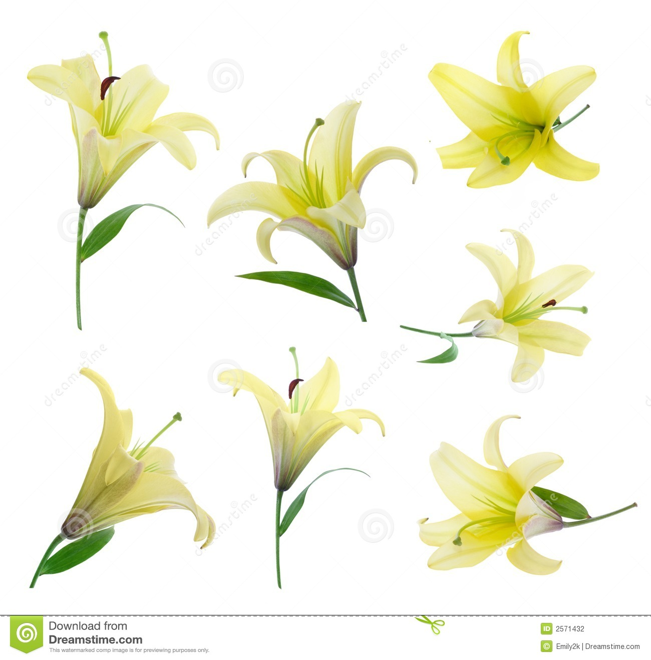 Yellow Lily Stock Photography.
