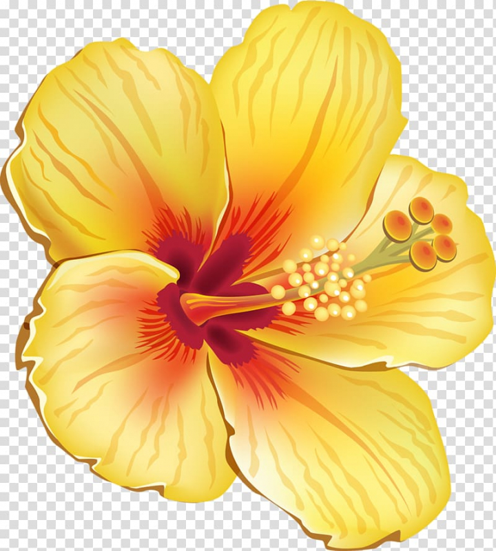 Yellow hibiscus flower illustration, Hawaiian hibiscus.