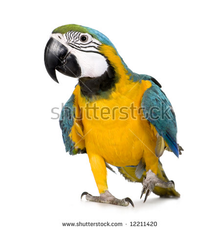 Blue And Yellow Macaw Stock Images, Royalty.