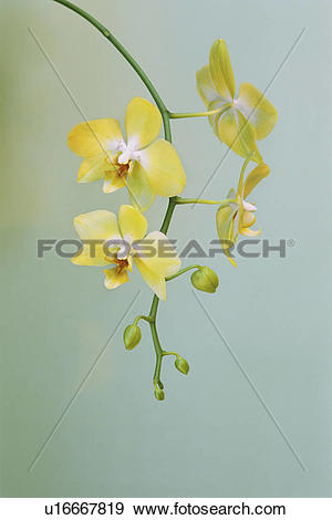 Stock Photograph of Orchid, Phalaenopsis hybrid, a plant with.