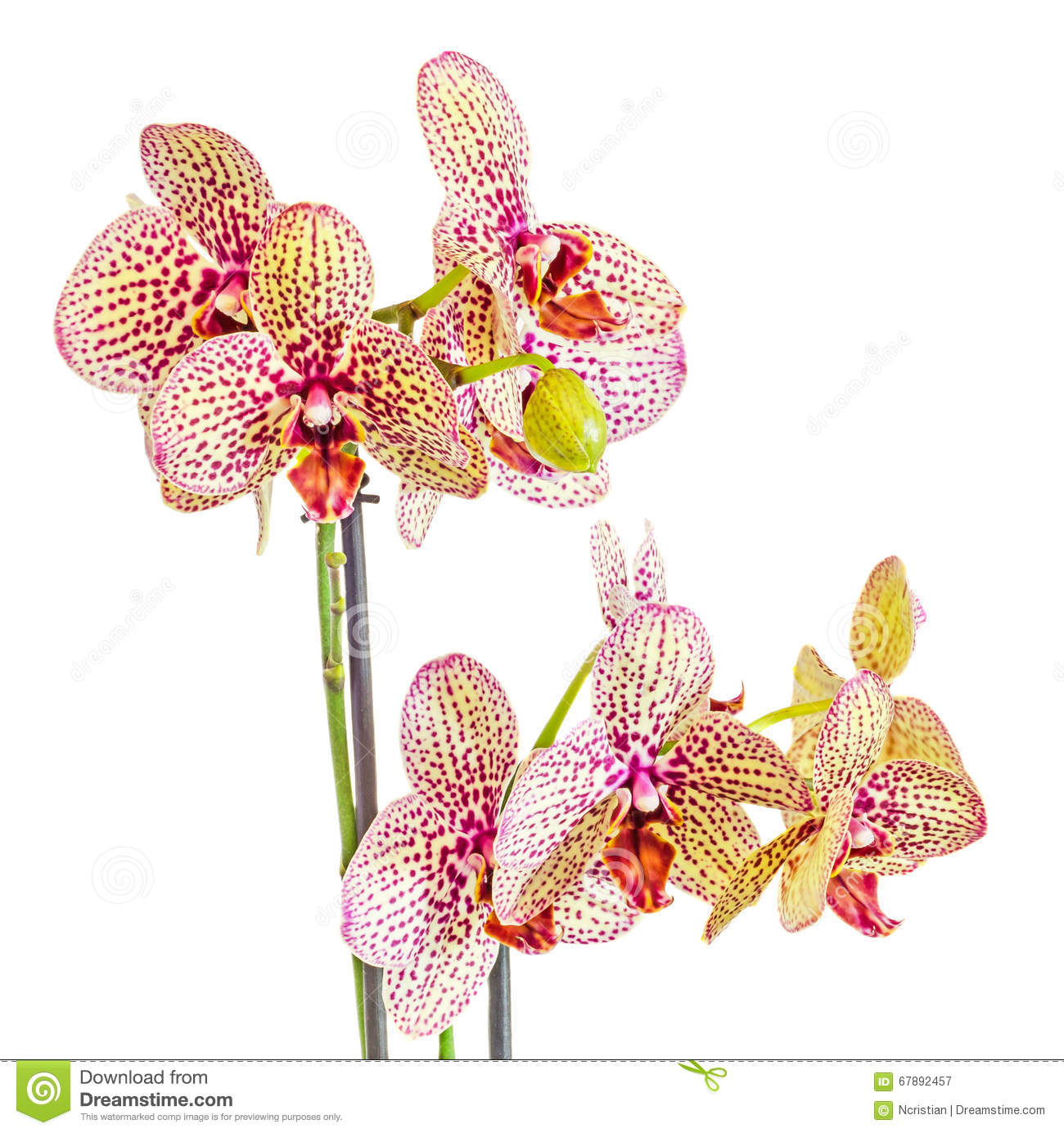 Yellow With Purple Spots Branch Orchid Flowers, Orchidaceae.