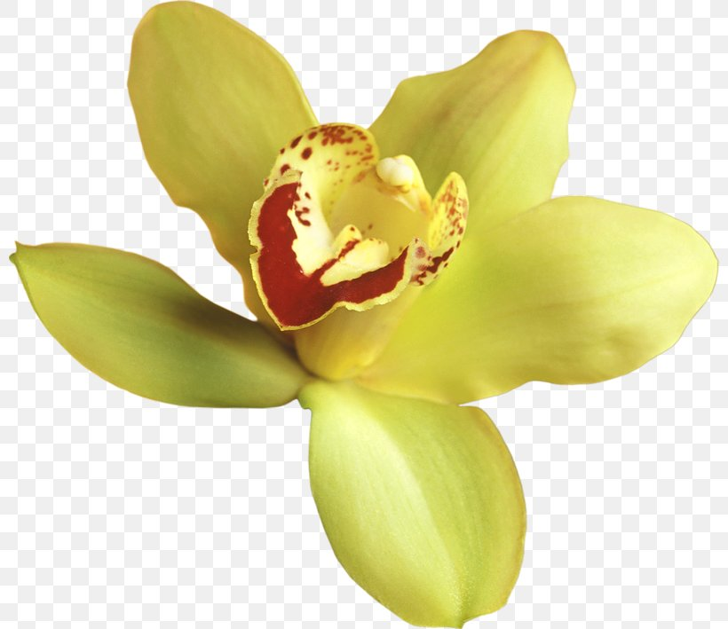 Orchids Yellow Clip Art, PNG, 800x709px, Popular Orchids.