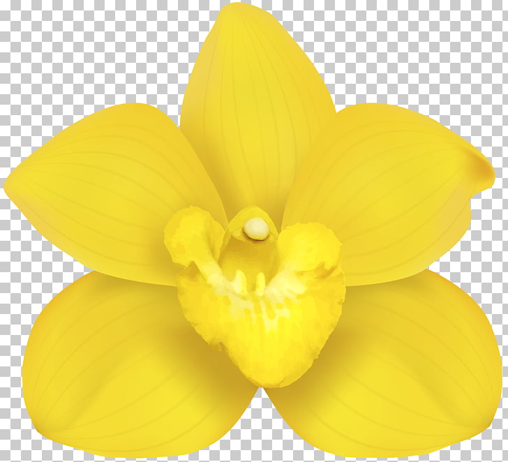 Moth orchids Narcissus Yellow Petal, Yellow Orchid PNG.