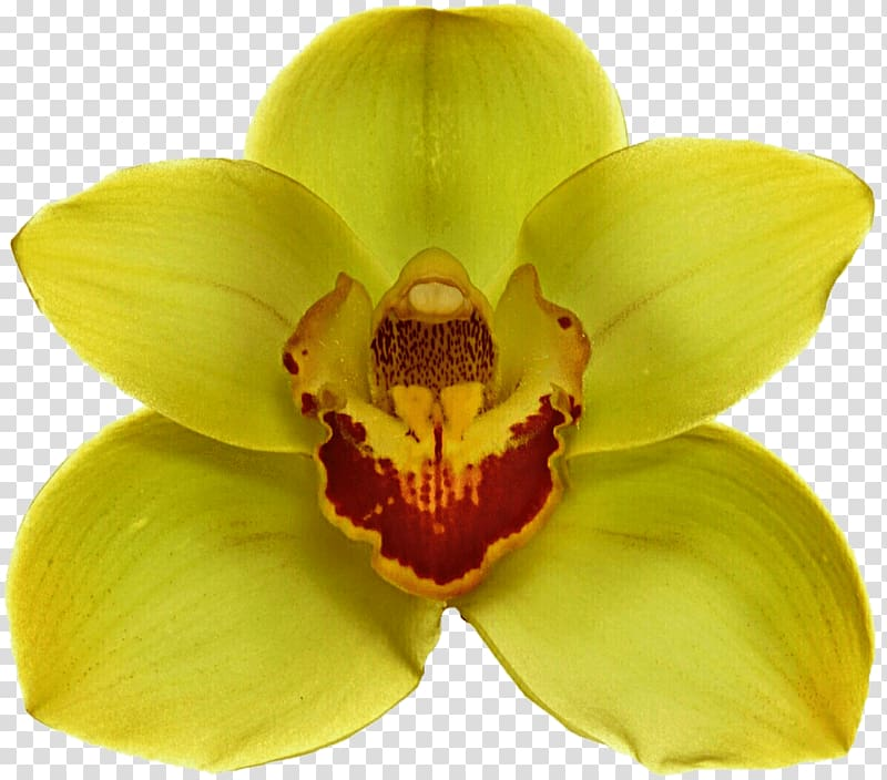 Yellow and red orchid illustration, Yellow Orchid.