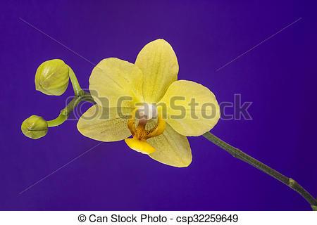 Stock Photo of Phalaenopsis Orchidee.