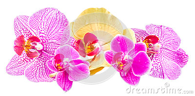 Phalaenopsis Yellow Pink Orchid Flower Royalty Free Stock Photos.