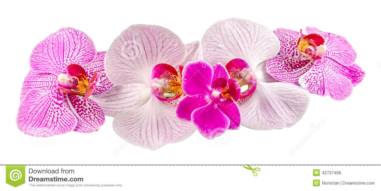 Colored Orchid Flowers, Mauve, Yellow, Pink, Purple, Orhideea.