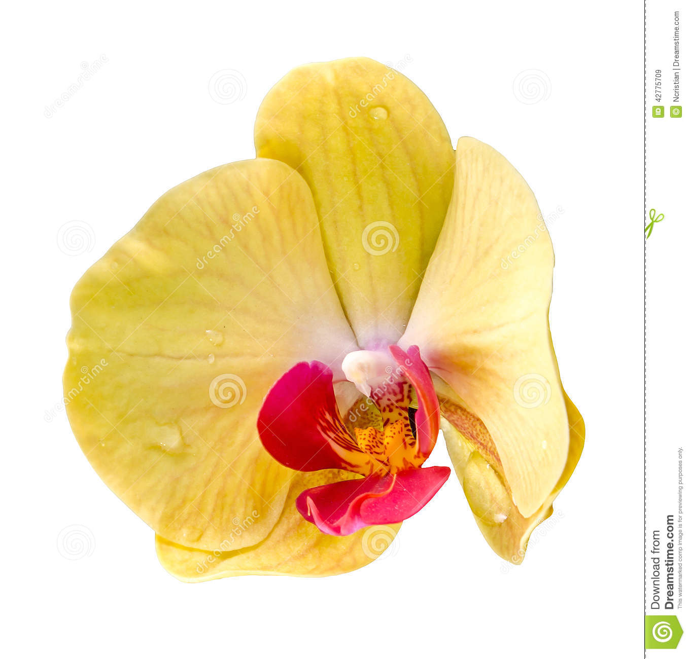 Phalaenopsis Yellow Pink Orchid Flower Stock Images.