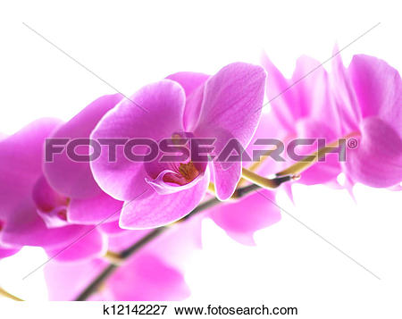 Picture of Phalaenopsis orchid, with yellow tongue, isolated.