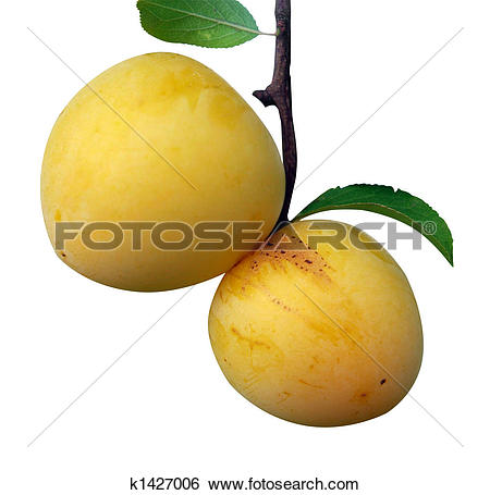 Stock Images of Two Yellow Plums k1427006.