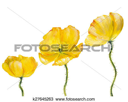 Drawing of Yellow Poppy isolated on white k27645263.