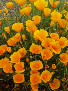 California Poppies Photo Clipart Image.