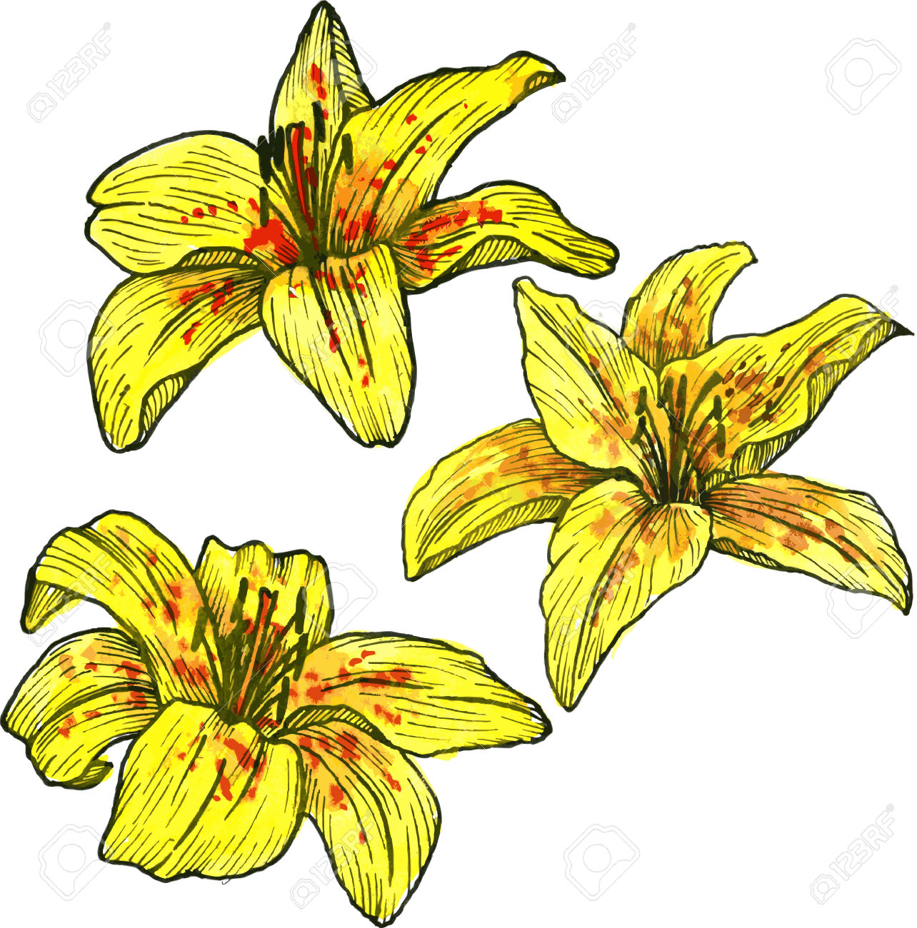 2,576 Yellow Lilies Stock Vector Illustration And Royalty Free.